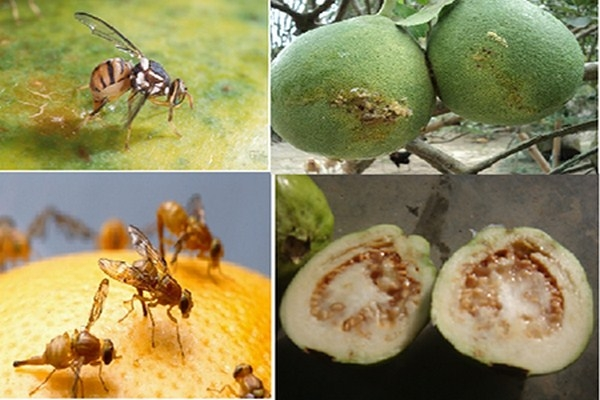 Bẫy ruồi an toàn với sức khỏe và thân thiện với môi trường